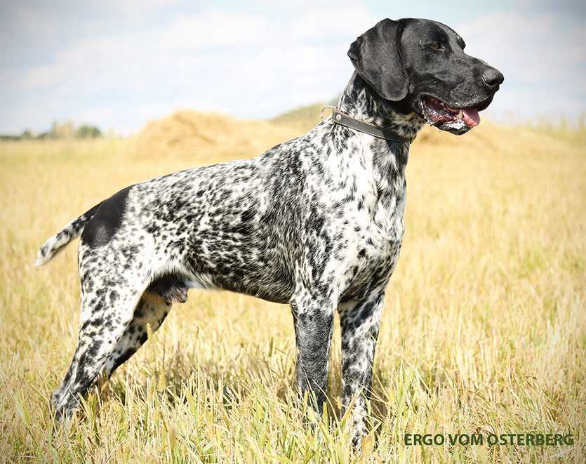 The Three German Shorthaired Pointer