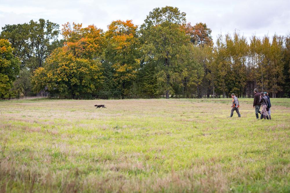 Searching pheasant