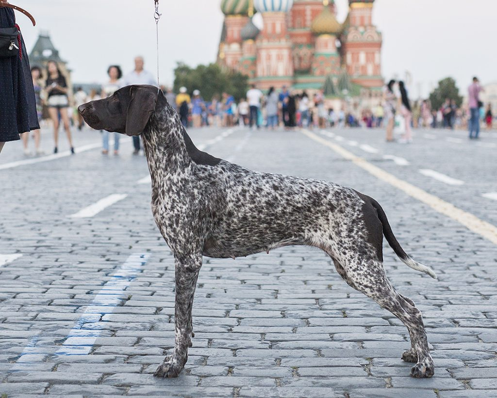 Our dogs - German Shorthaired Pointer blog