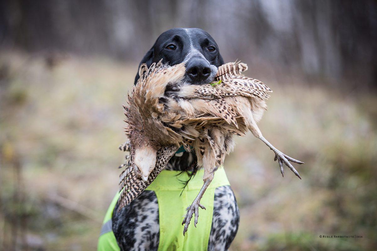 Pheasant_Invi_GA2A9093