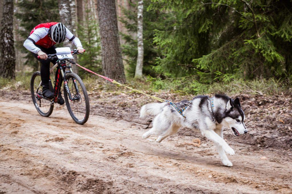 Sled_Dog_Burundukas_sm-7996