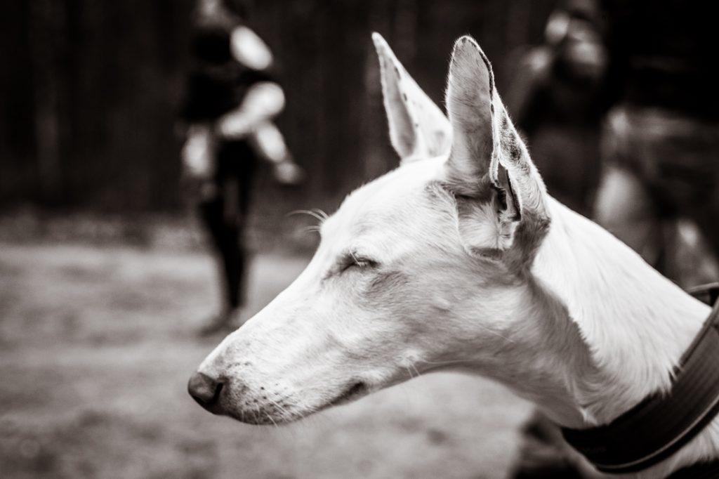 Sled_Dog_Burundukas_sm-8021
