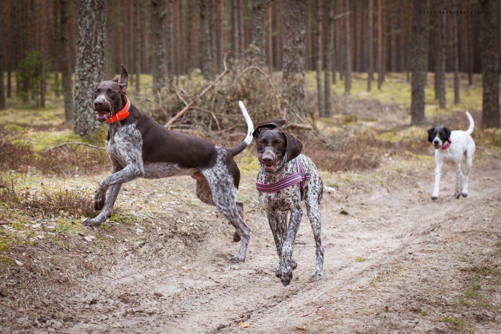 Sled_Dog_Burundukas_sm-8158