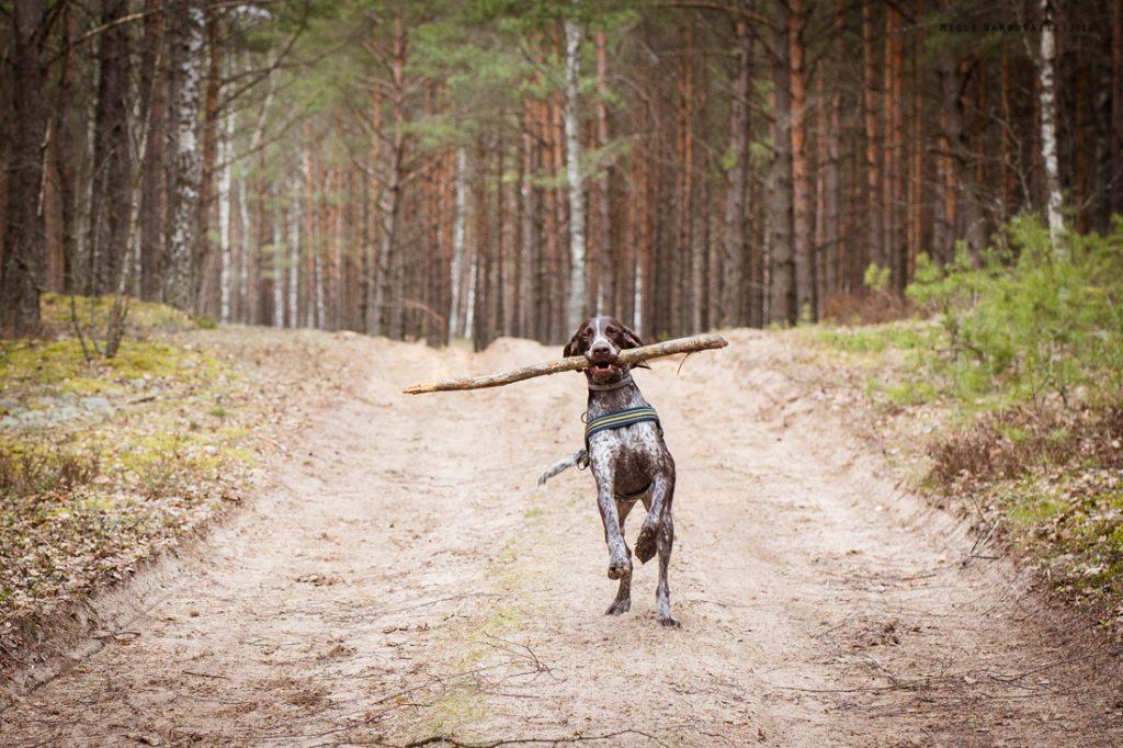 Sled_Dog_Burundukas_sm-8185