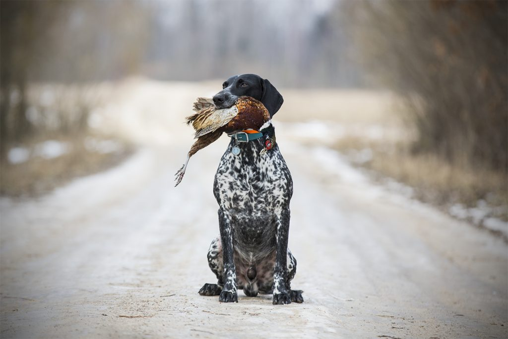 Invi pheasant retrieve