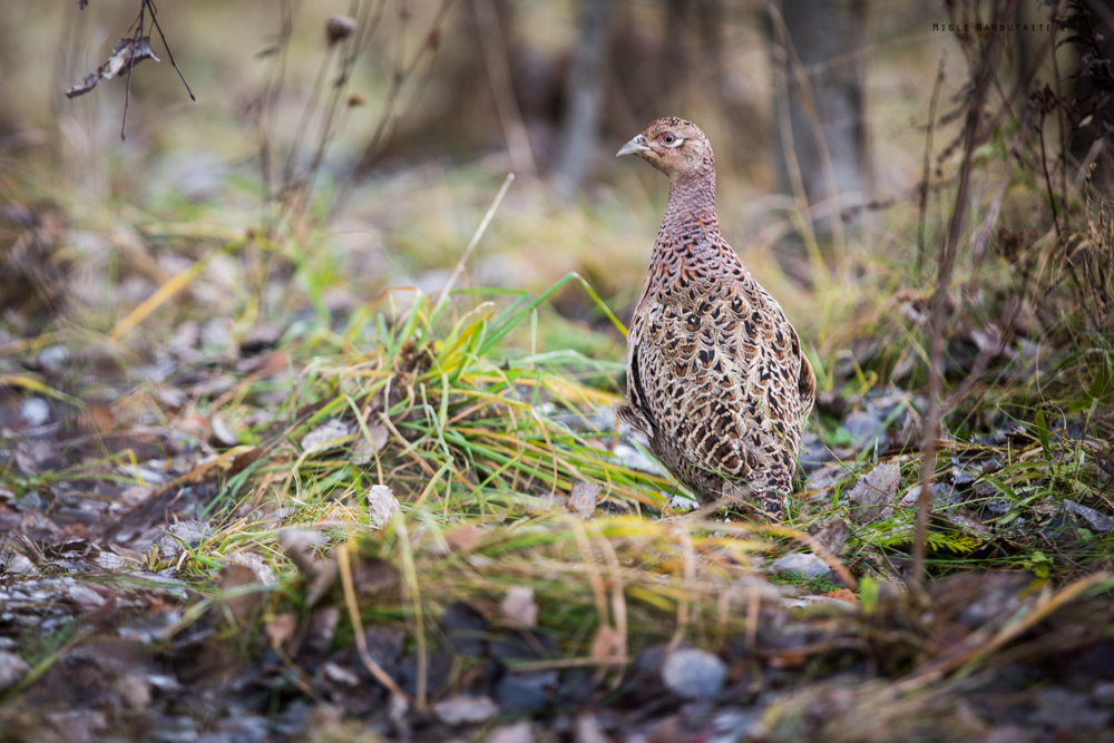 Pheasant_Hunt_2016-11GA2A9042