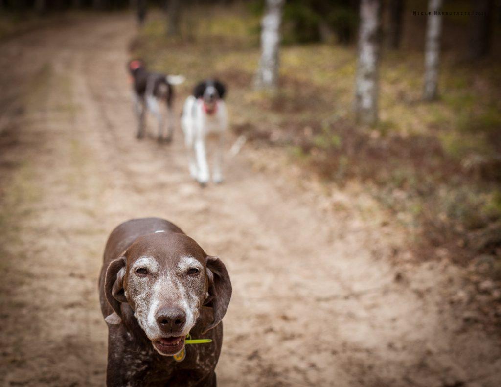Sled_Dog_Burundukas_sm-8172