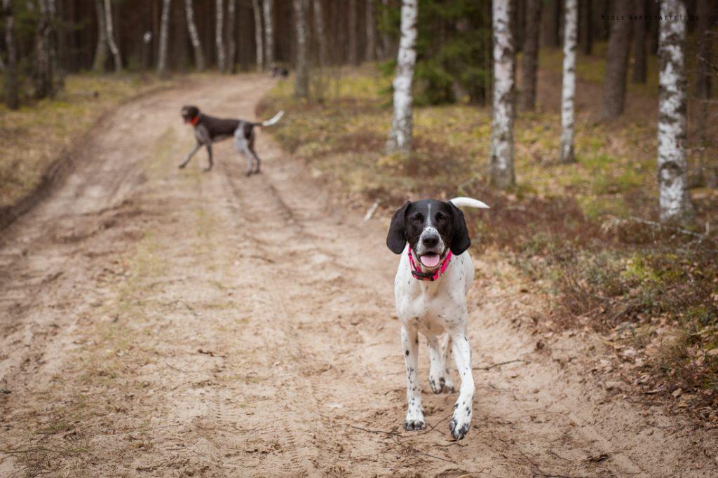 Sled_Dog_Burundukas_sm-8176