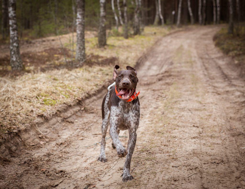 Sled_Dog_Burundukas_sm-8181